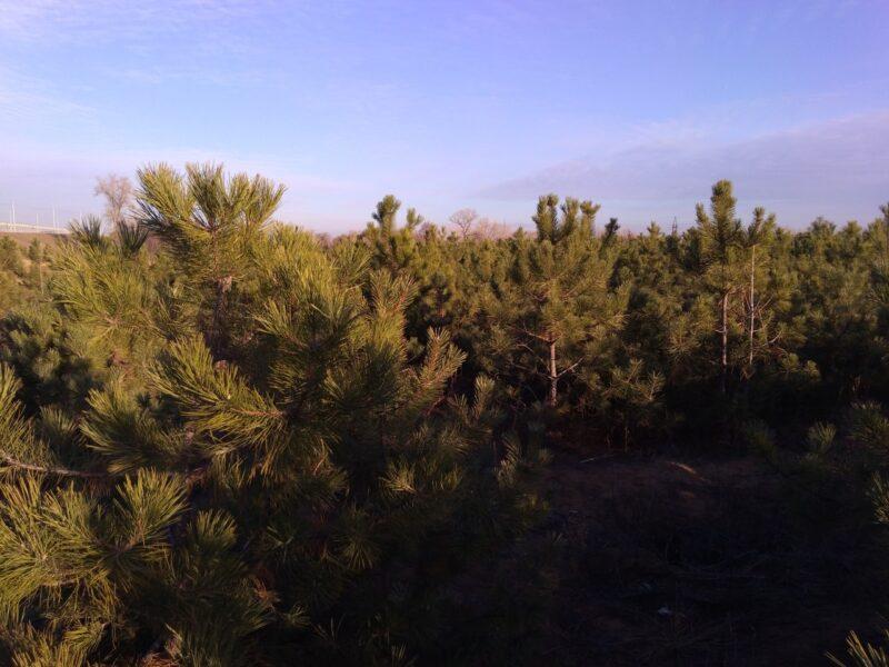 В Волгоградской области соберут 3,5 миллиона шишек