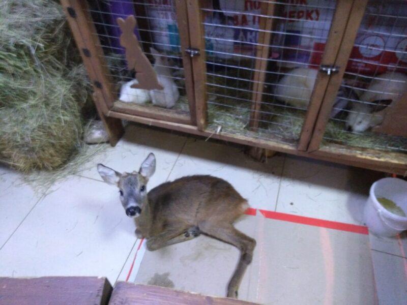 Лама, лисенок, лемуры — контактный зоопарк в Волжском. Разве это законно?
