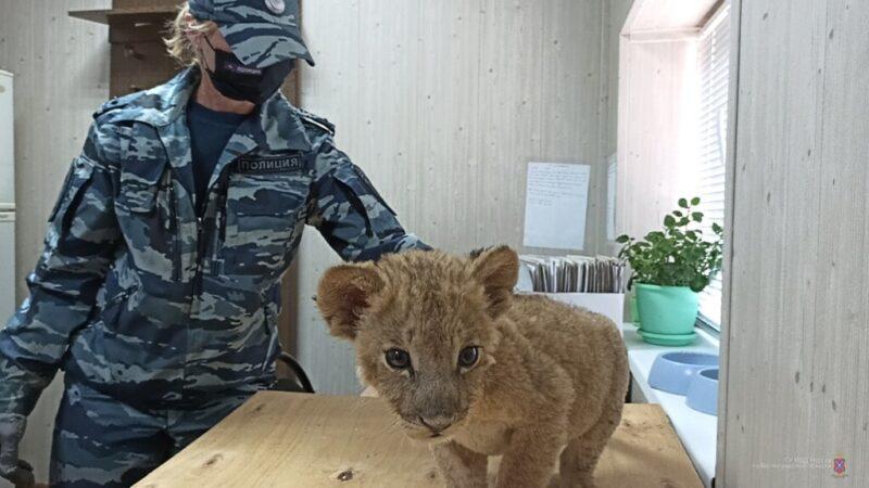 Истощен и сильно напуган: под Волгоградом спасли львенка из Дагестана