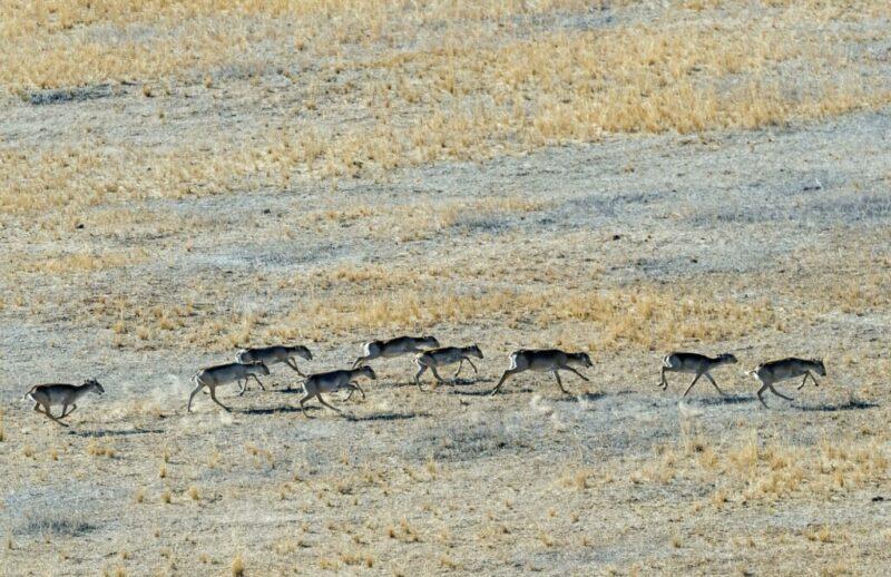 В Волгоградской области спасают от жажды около 5 тысяч диких антилоп