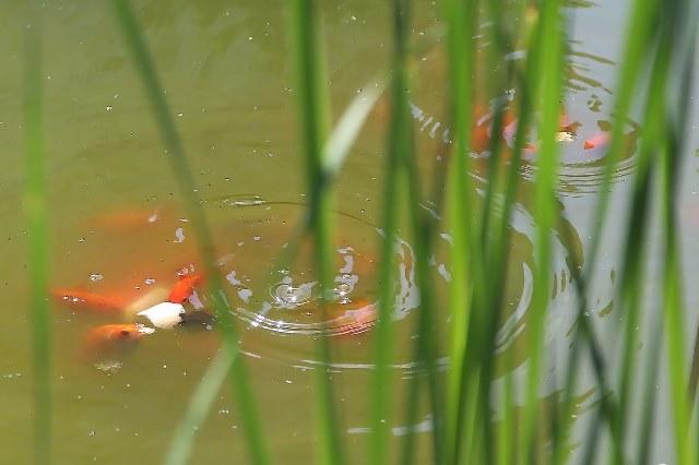 В декоративном пруду на Центральной набережной вновь заведутся рыбы