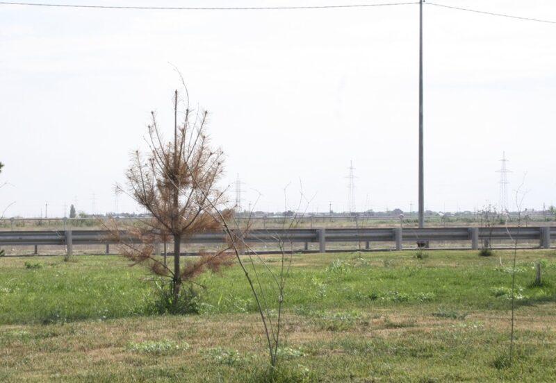 Мэрия Волжского и обладминистрация валят друг на друга, из-за кого гибнут саженцы на новом мостовом переезде