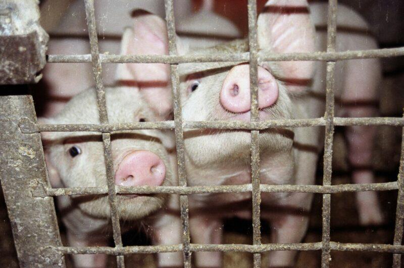 В Рудне торговали сомнительной свининой