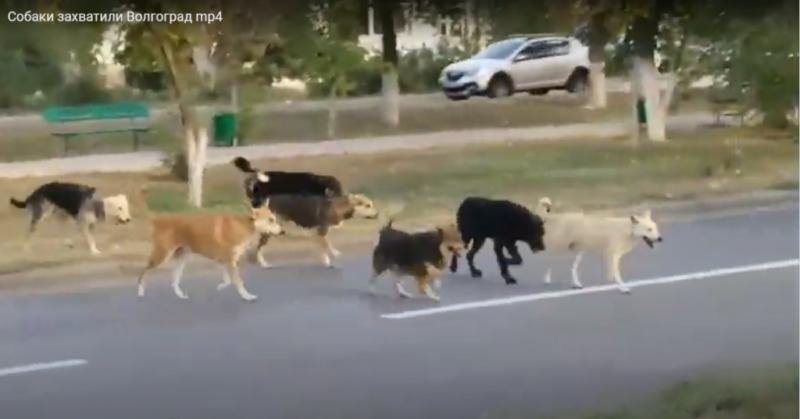 «Собакоград»: волгоградцы запечатлели стаю из 10 не чипированных собак в 100 метрах от районной администрации
