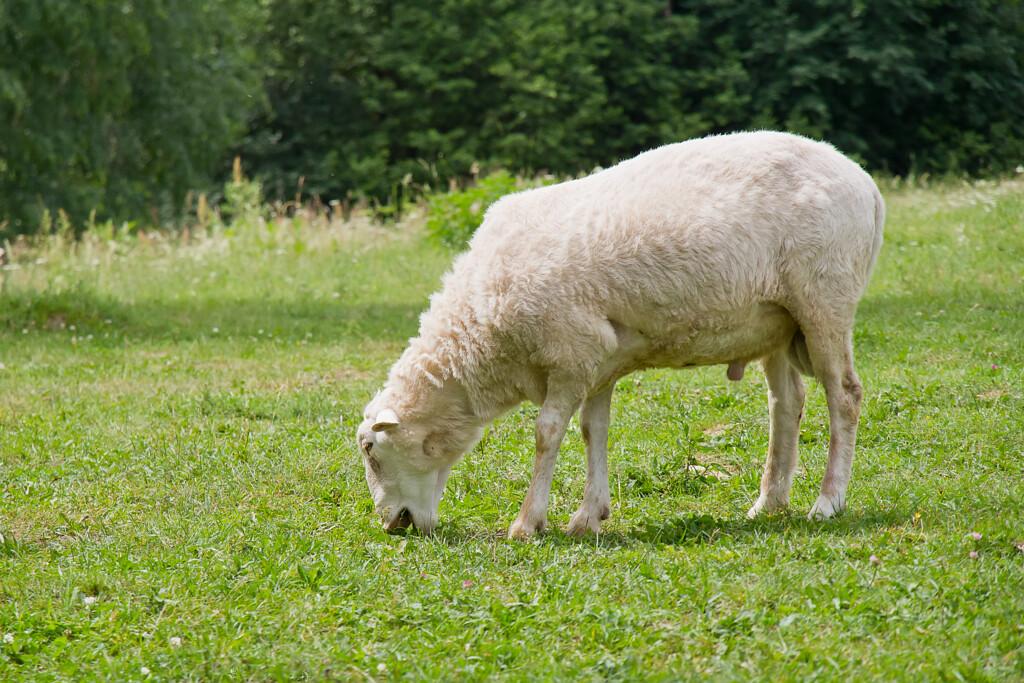 Под Волгоградом обнаружили сомнительных овец