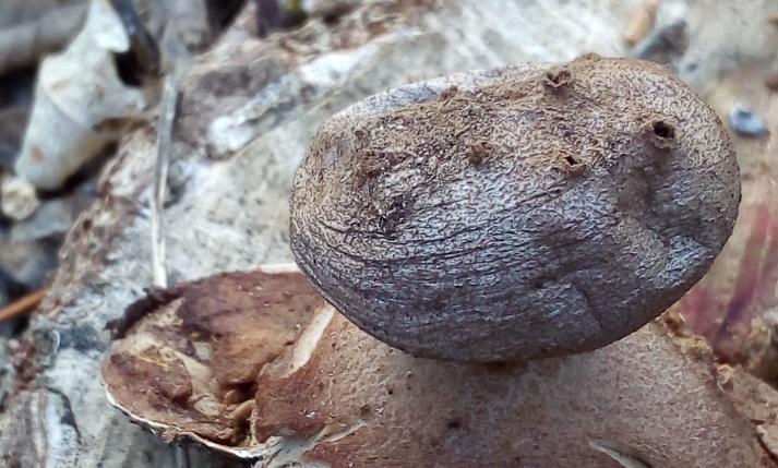 Мириостома дырчатая выросла в неожиданном месте в Волгоградской области