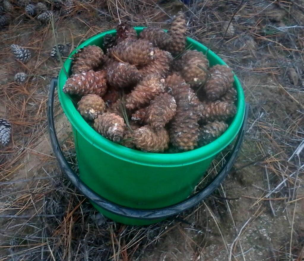 5,5 тонн шишек собрали вручную в Волгоградской области