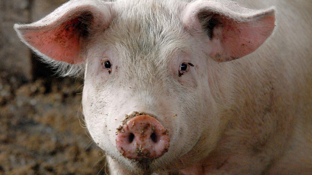 Подкупил тушкой свиньи: вскрылись подробности афер в «Волгоградском лесничестве»