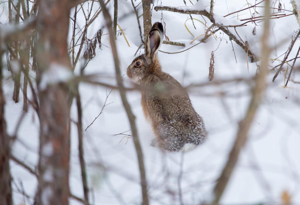 В Волгоградской области запретили охоту на зайца-русака