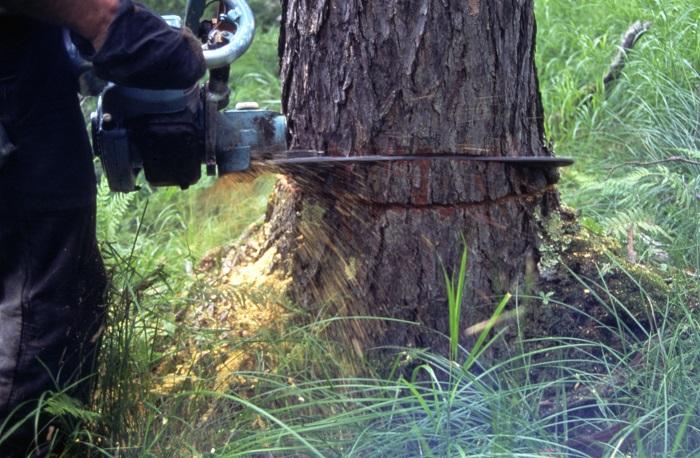 «Волгоградзеленхоз» вырубит ясени на улице Чуйкова